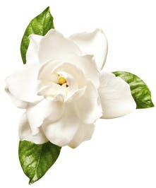 Package of Three Blooms of Gardenia