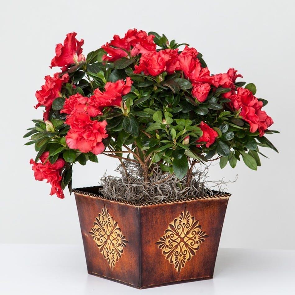Azalea Plant in Albuquerque, NM - Peoples Flowers