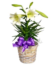 Blooming Easter Lily plant in a ceramic pot