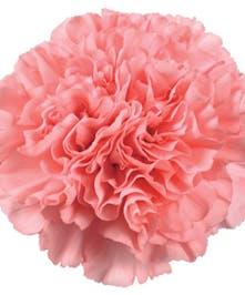 25 Stem bunch of Carnations