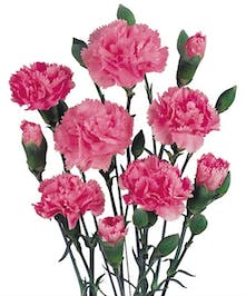 10 Stem bunch of Mini Carnations