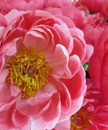 Peoples Designers Choice with Peonies