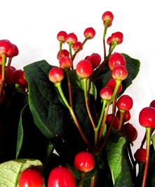 10 Stem bunch of Hypericum