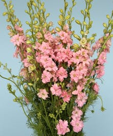 10 Stem bunch of Larkspur