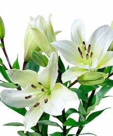 10 Stem bunch of Hybrid Lilies