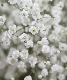 10 Stem Bunch of Million Star Gypsophila