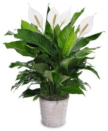 Our Most Popular Green Plant!