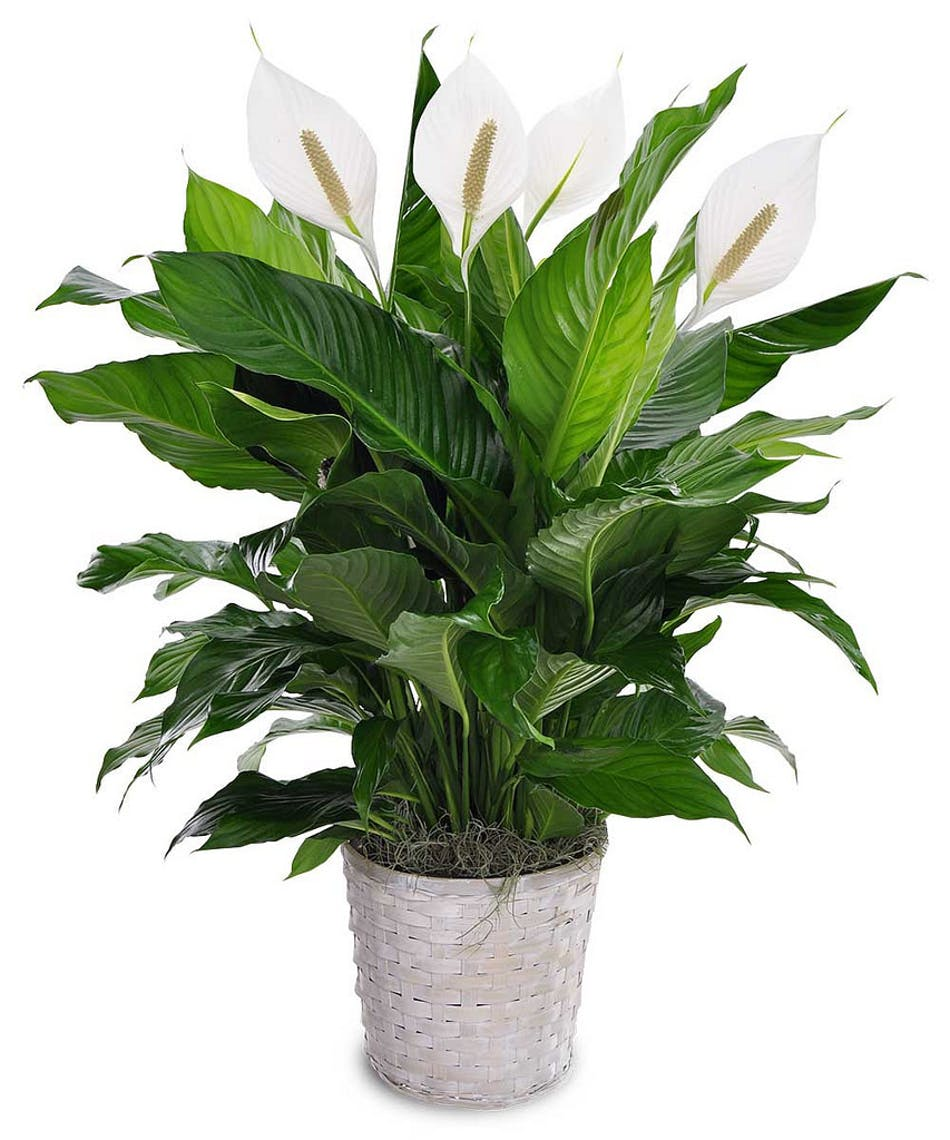 Peace Lily Green Plants Bernalillo Spathiphyllum Albuquerque New
