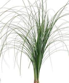 Grower's Bunch Bear Grass