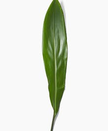 Grower's Bunch of Aspidistra