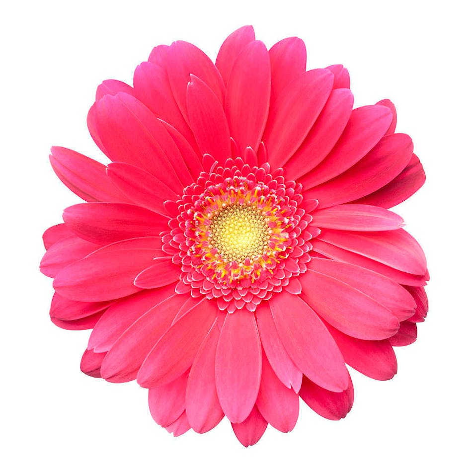 Bulk Gerbera Daisies Diy Flower Packages Albuquerque Nm Florist