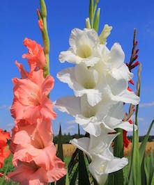 10 Stem bunch of Gladiolas