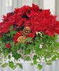 Ivysettia with Pine Cones and Holiday Ribbon in a Ceramic Container