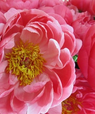 Peony Packaged Flowers