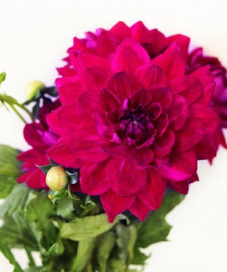 Dahlia Packaged Flowers