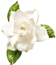 Gardenia Packaged Flowers