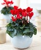 Cyclamen Plant Upgraded into a Ceramic Container (Our Recommendation)