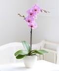 Single Phalaenopsis Orchid Plant (Purple)