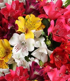 Alstromeria Lily Packaged Flowers