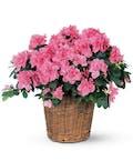 Azalea Plant in Basket with Ribbon Treatment