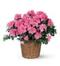 Azalea Plant in Basket with Ribbon Treatment