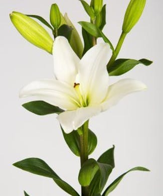 Hybrid Lilies Bulk Flowers