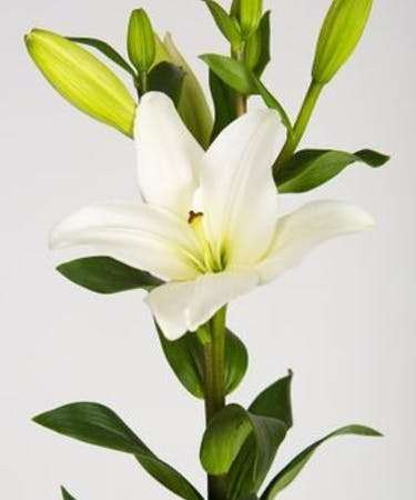 Hybrid Lilies Diy Flower Packages Albuquerque Nm Flower Shop