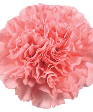 Carnations Packaged Flowers
