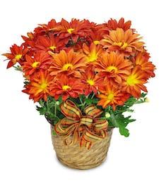 Fall Mum Plant