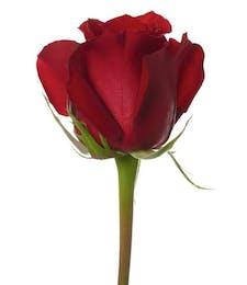 60 cm Long Stemmed Roses