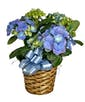 Hydrangea Plant In Basket with Ribbon Treatment