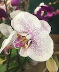 Single Phalaenopsis Orchid Plant (White with Purple Freckles)
