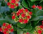 Kalanchoe Plant In Basket with Riboon Treatment