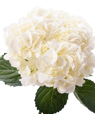 Hydrangea Packaged Flowers