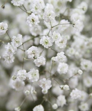 Million Star Gypsophila Packaged Flowers