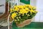 Double  Mum  Plants in Basket