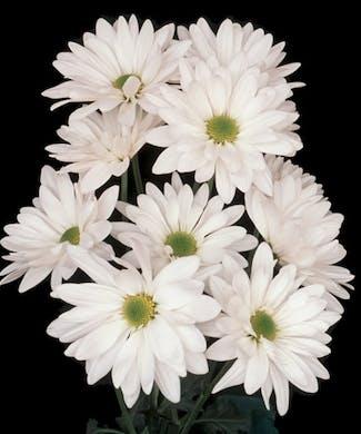 Spray Mum Daisies Packaged Flowers
