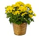 Single Mum Plant In Basket with Ribbon Treatment