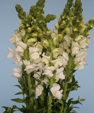 Snapdragon Packaged Flowers