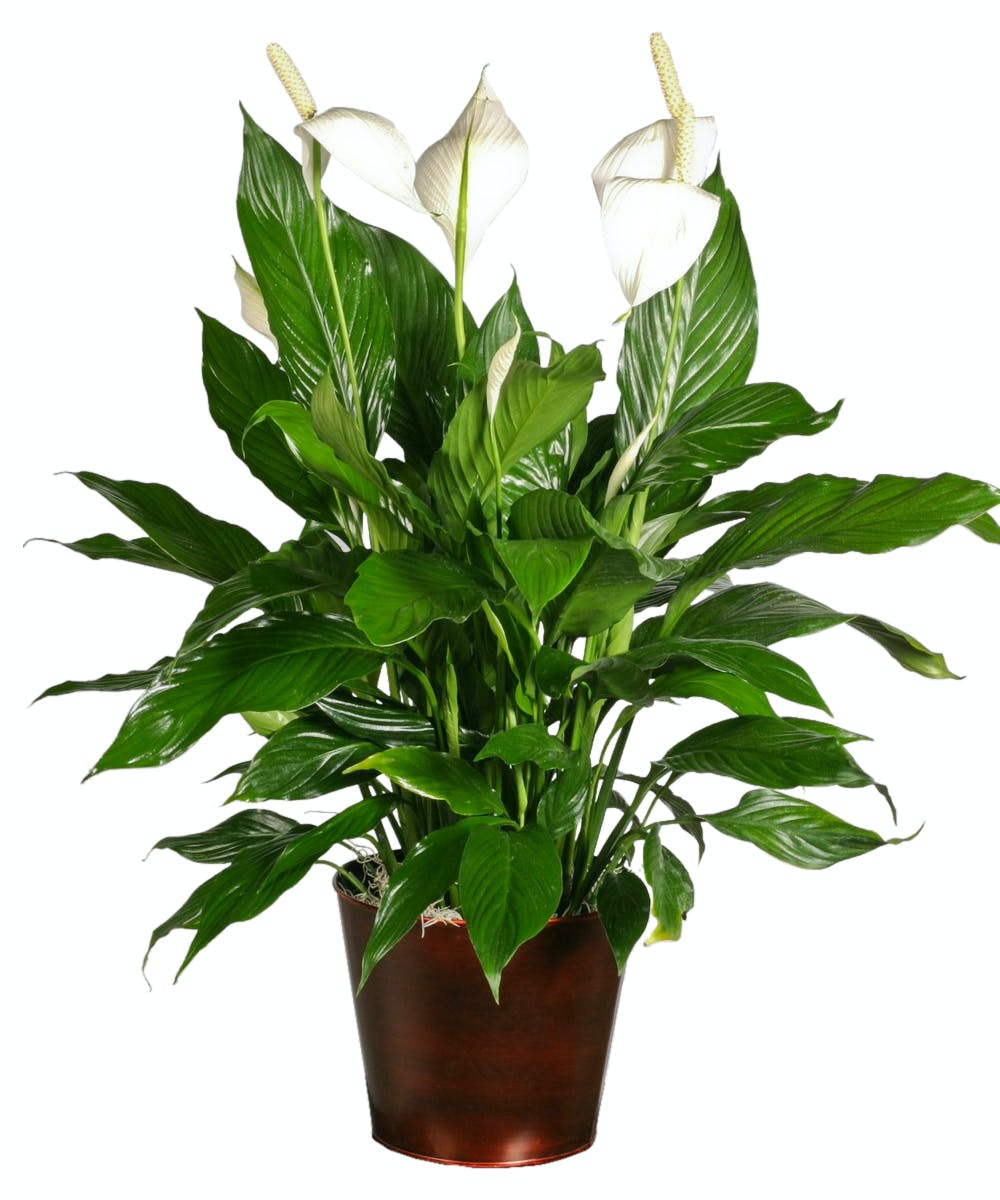 Peace Lily Green Plants Bernalillo Spathiphyllum
