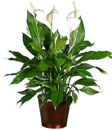 Spathiphyllum Plant