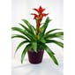 Bromeliad Featured in a Basket