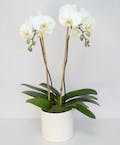 Double Stem Orchid in a Ceramic Container with Bamboo Accents (White)