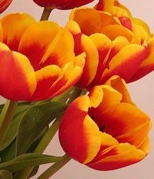 Tulip Packaged Flowers (Greenhouse Grown)