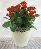 Kalanchoe Plants in Ceramic Container