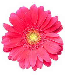 Gerbera Daisies Packaged Flowers