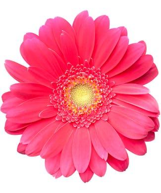 Gerbera Daisies Packaged Flowers