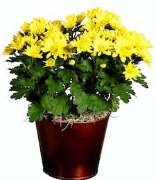 Mum Plant