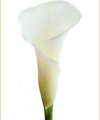 Calla Lily (Mini) Packaged Flowers