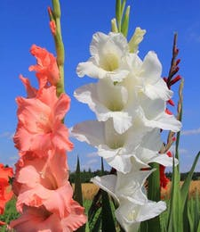 Gladiola Packaged Flowers